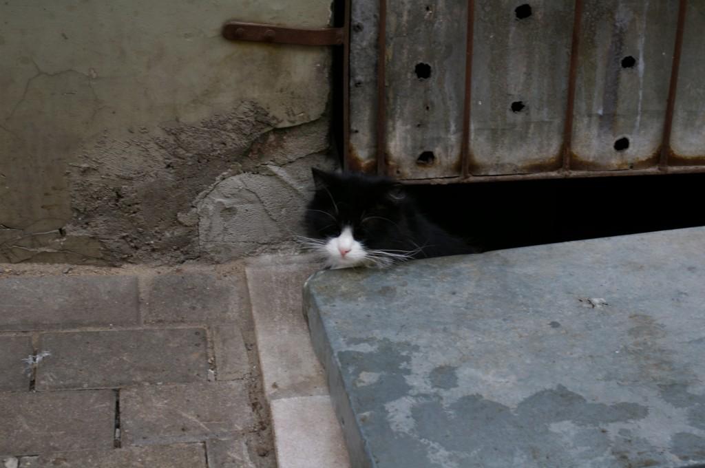 Rygos miesto katės